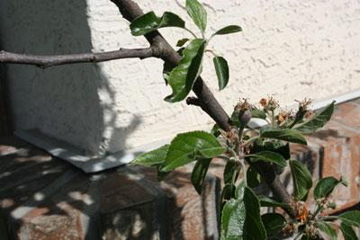 Apple-tree-first-teeny-apple