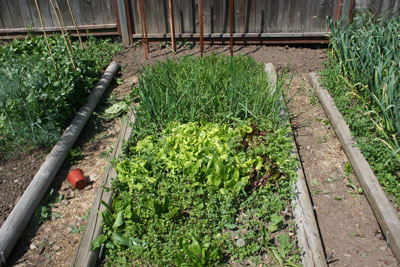 Carrots,-lettuce,-onions,-spinach-early-June